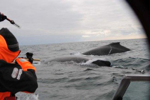 Tag & biopsy guns & humpbacks AWE photo 2010 REM 0239 photo2