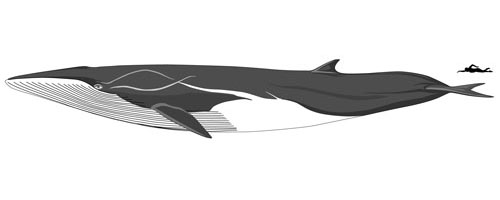 size-fin-whale